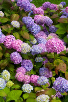Many Hydrangea Colors