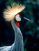 Crowned Crane Profile